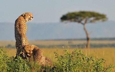 cheetahs_2858137a.jpg